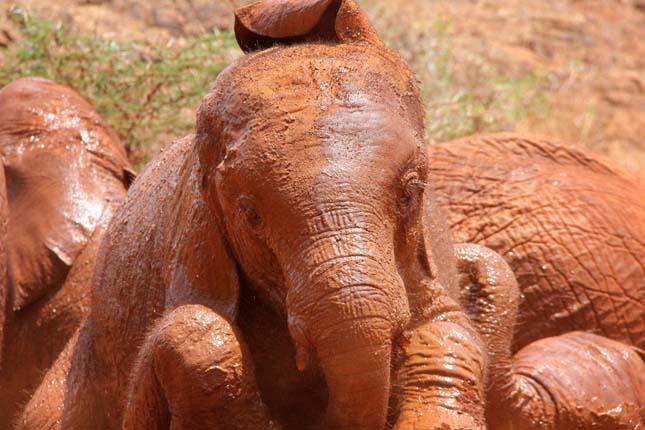 Vörös elefántok