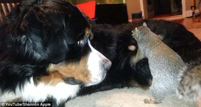 A mókus és a berni pásztor