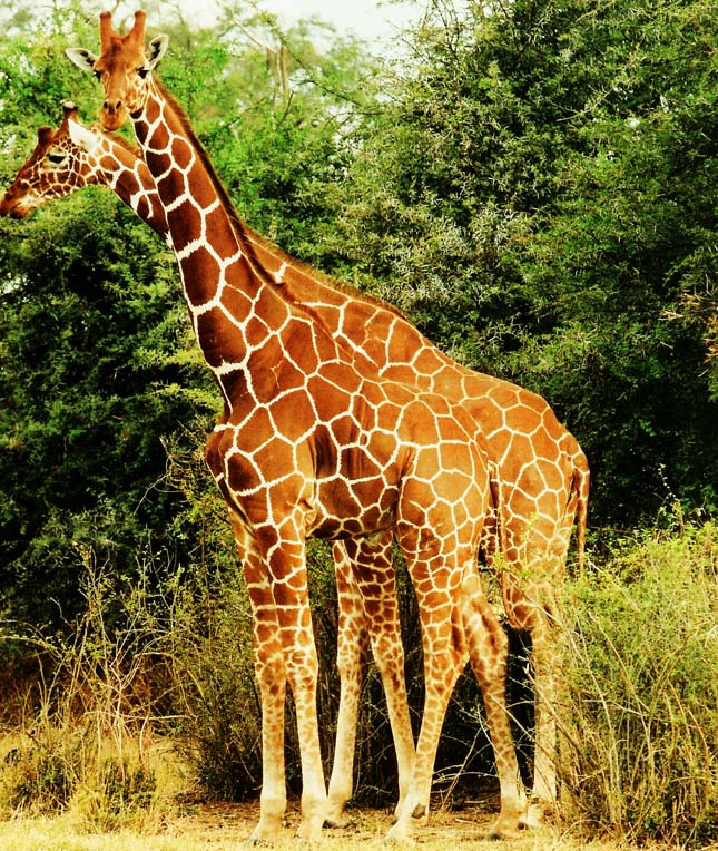 Érdekességek a zsiráfokról