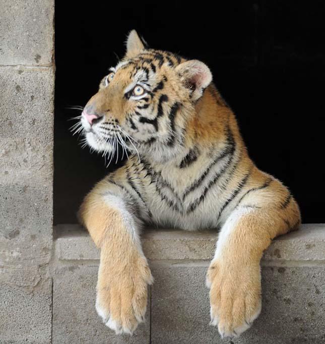 Aasha tigris