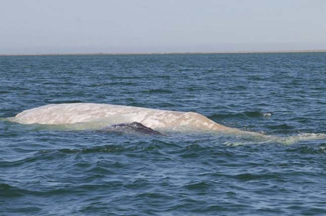 Szürke bálna