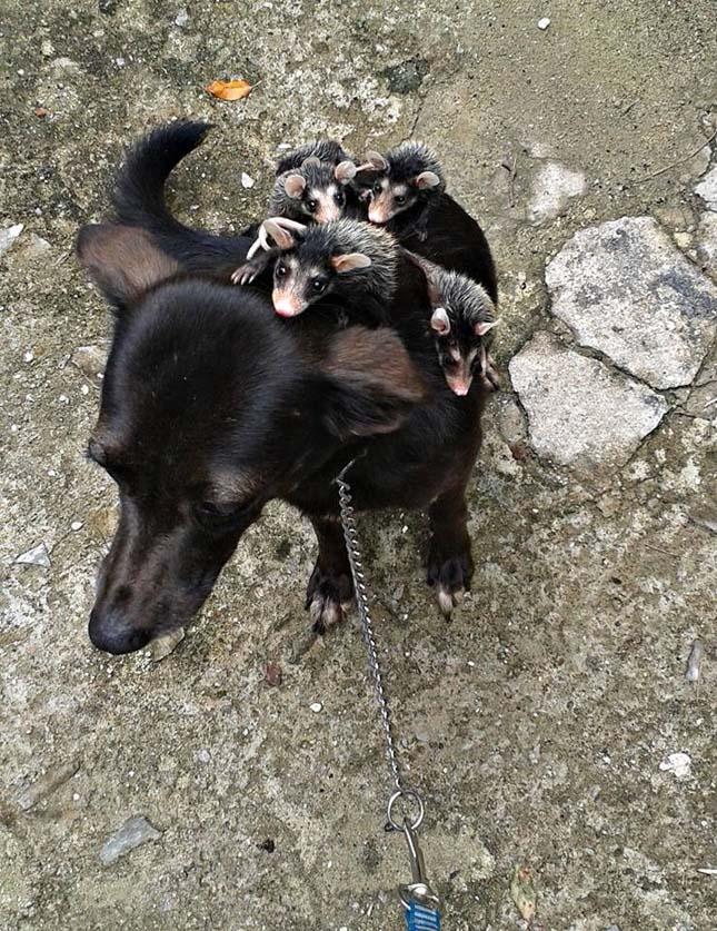 Árva opsszumokat vett gondozásába egy kutya