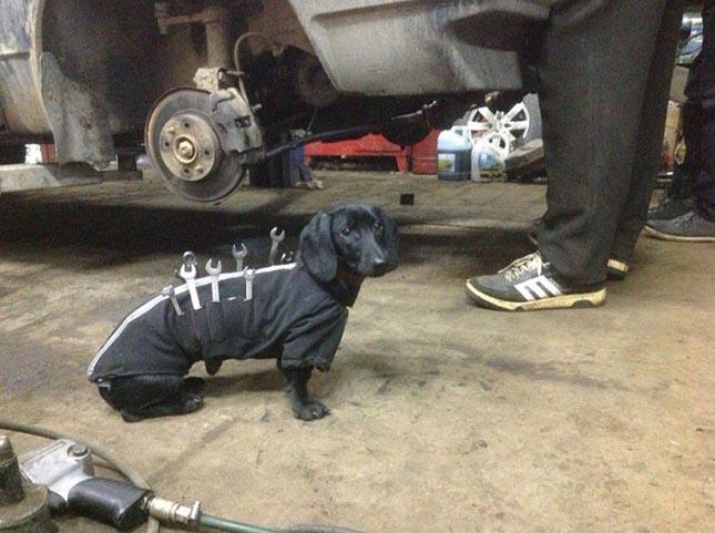 Autószerelő tacskó