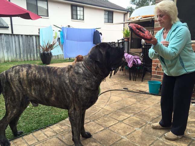 Ausztrália legnagyobb kutyája