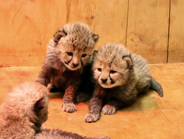 8 kölyke született egy amerikai állatkertben élő gepárdnak