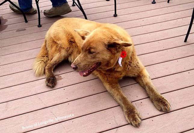 Bruno kutya