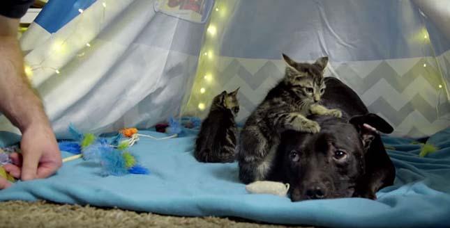 Cicákkal barátkozik a viadaloktól megmentett kutya