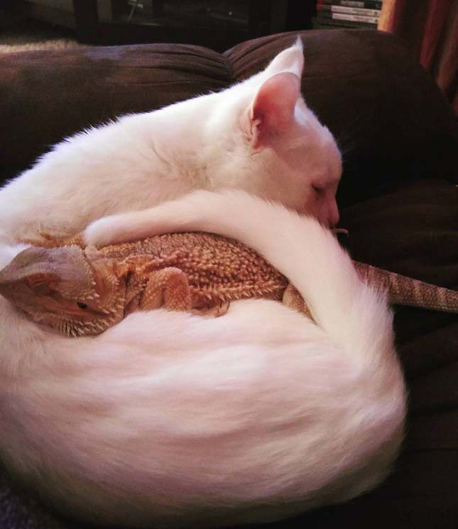 Cica és agáma barátsága