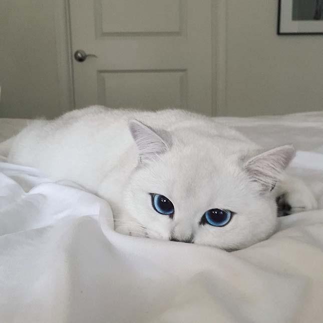 Coby macska