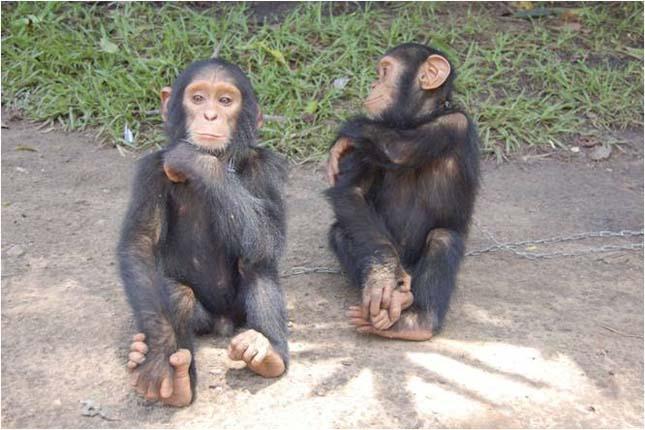 Csimpánzok