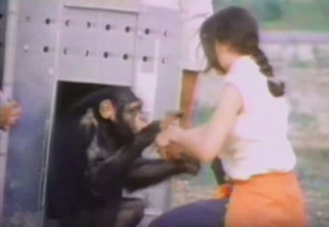18 év után is megismerték megmentőjüket a csimpánzok