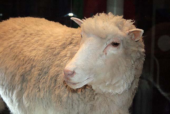 Dolly bárány