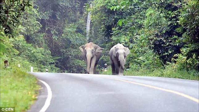 Dühös elefántok