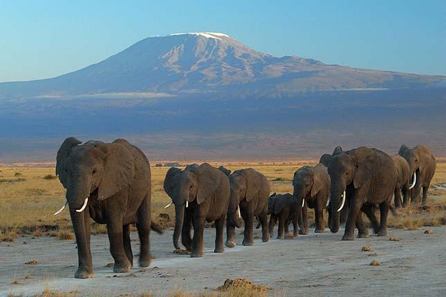 Minden emlősnél kevesebbet alszanak az afrikai elefántok