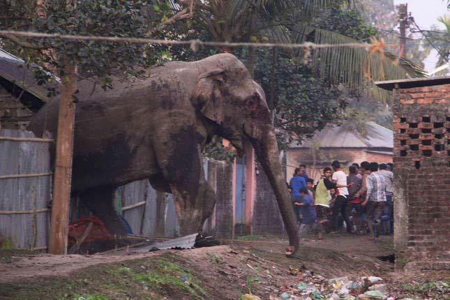 Tört-zúzott a városba tévedt rémült elefánt