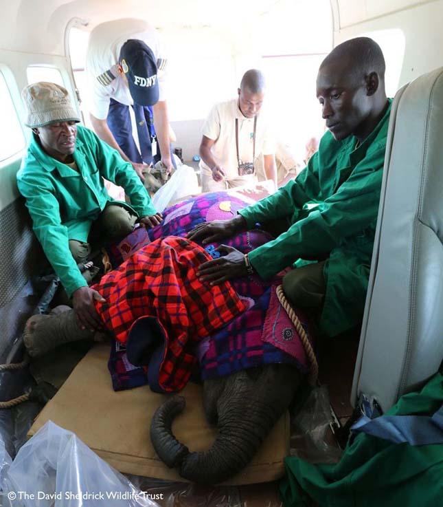 Majdnem elveszítette ormányát a csapdába esett kiselefánt
