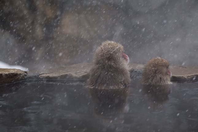 Fürdőző makákók