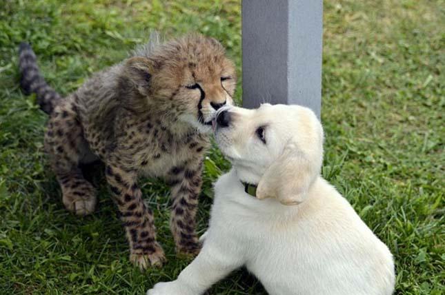 Gepárdok és kutyák barátsága