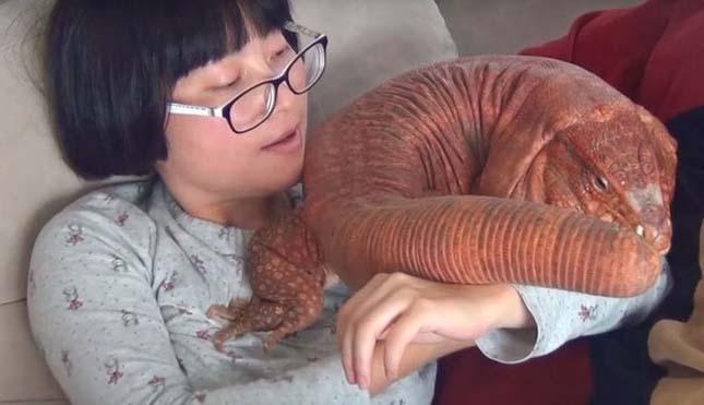 Hatalmas gyíkkal él együtt egy házaspár