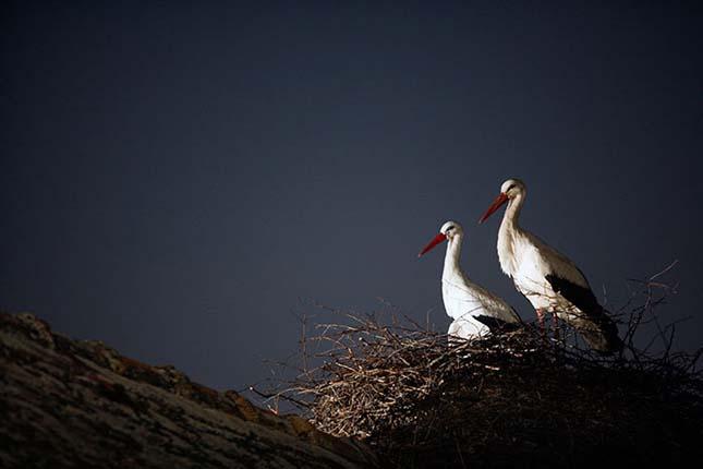 Hűséges gólyapár