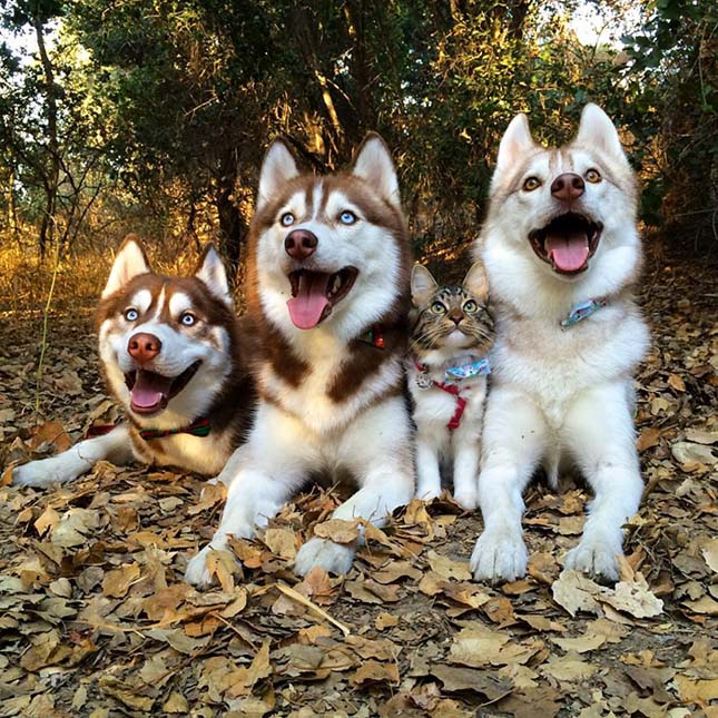 Husky kutyák fogadták be maguk közé a megmentett macska