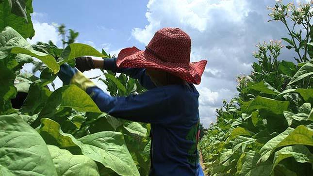 Több ezer gyerek dolgozik az indonéz dohányültetvényeken