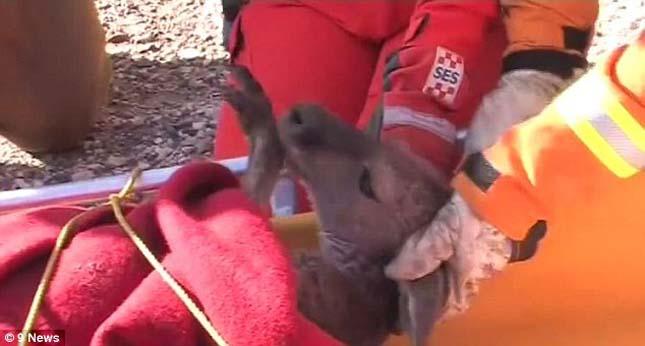 Szakaácsok mentették meg a fuldokló kengurut