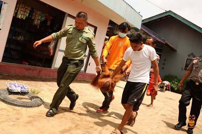 Fához kötve árulták az ellopott orangutánkölyköt