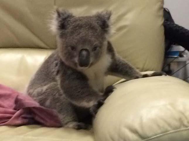 Koala tört be egy házba