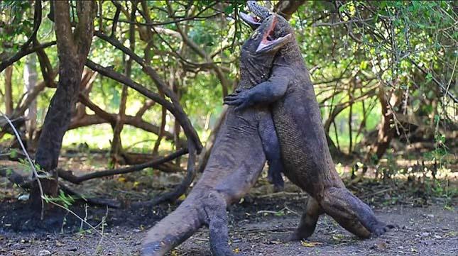 Komodói sárkányok harca
