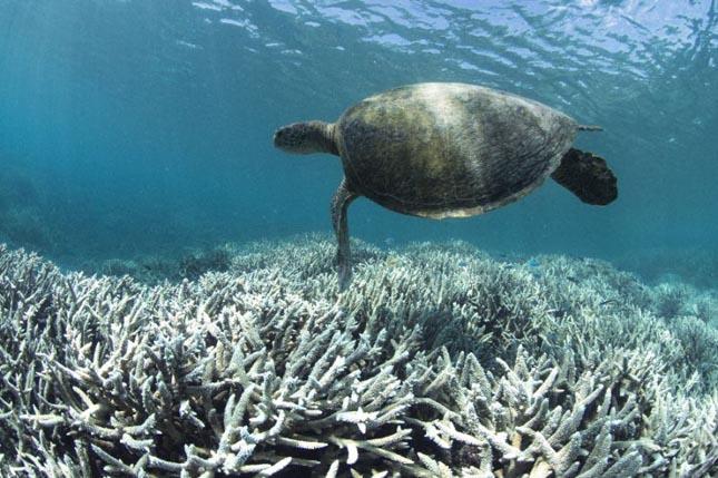 Korallfehéredés