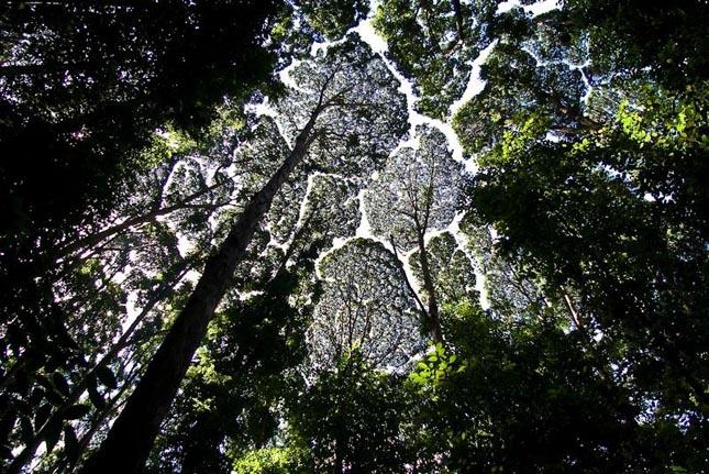 Crown shyness - Dryobalanops aromatica