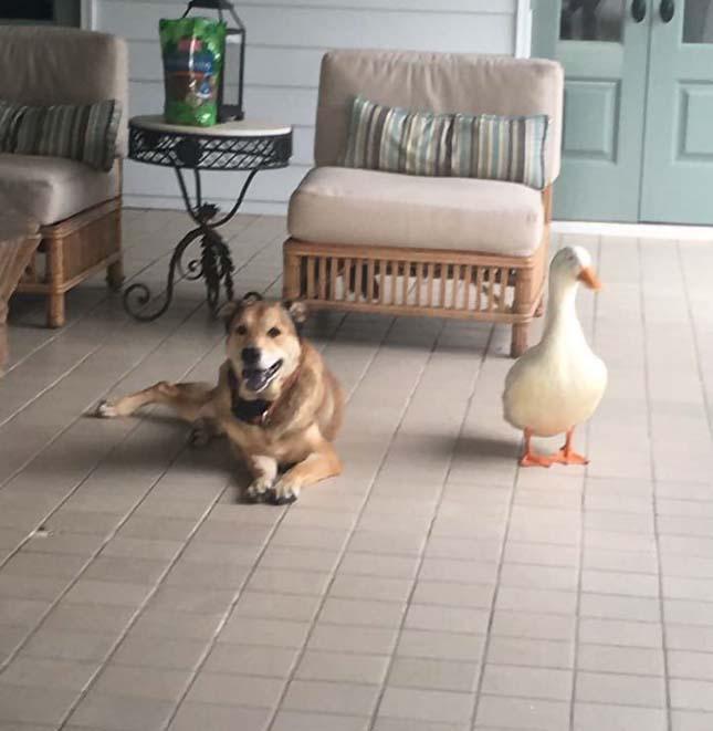 Kuyta és kacsa barátsága