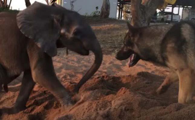 Egy kutyának köszönhetően tért vissza a beteg kiselefánt életkedve