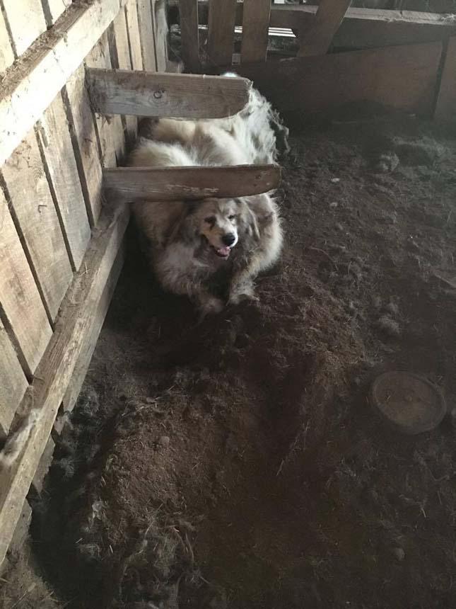 Hatalmasra nőtt az elhanyagolt kutya bundája
