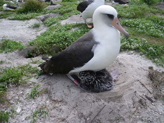 Legidősebb albatrosz