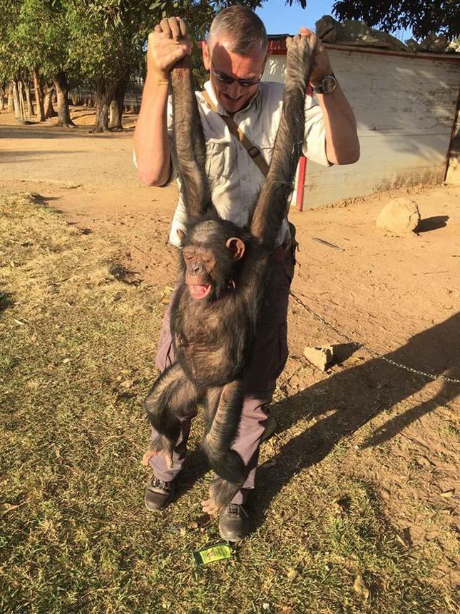 Megmentett csimpánz