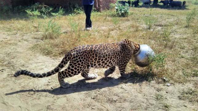 Leopárd tévedt az iskolába