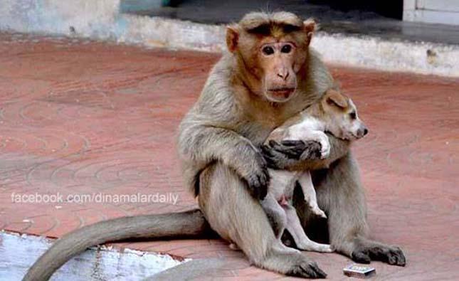 Kiskutyáról gondoskodik egy indiai majom