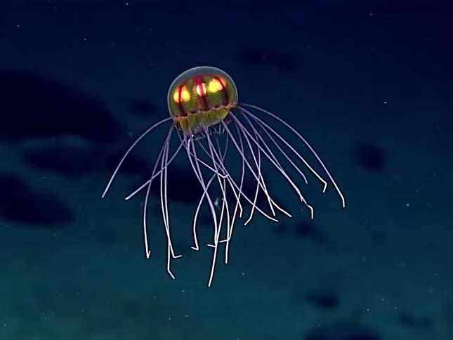 Medúza a Mariana-árokban