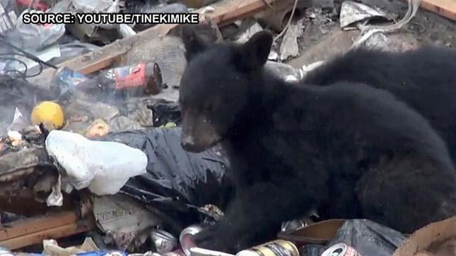 Fekete medvék kóborolnak a kanadai városban