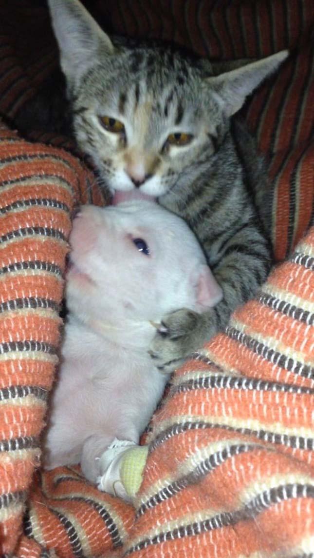 Macskák gondoskodnak a háromlábú kiskutyáról