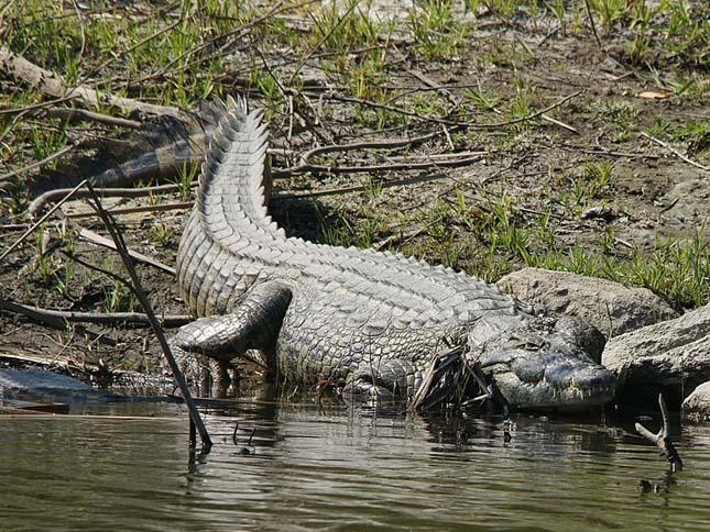 Nílusi krokodilok Floridában
