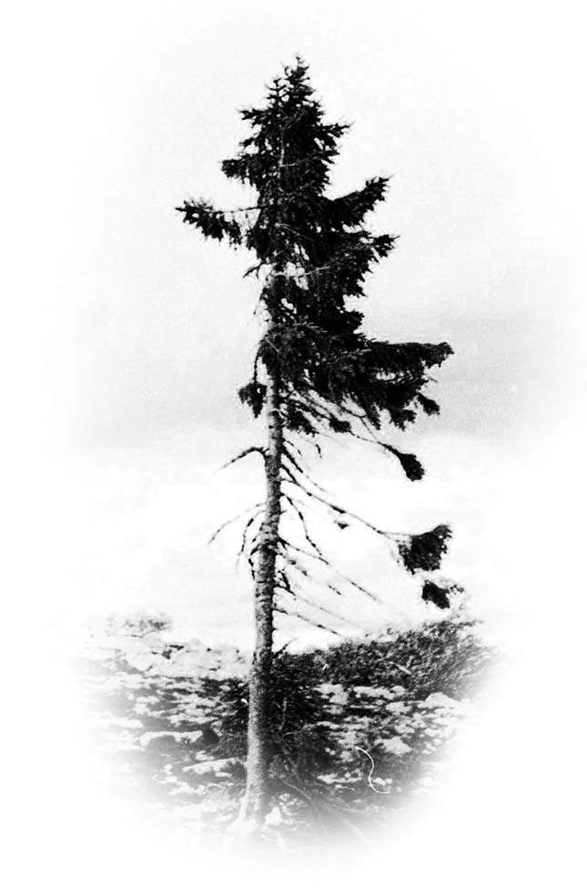 A világ legöregebb fája