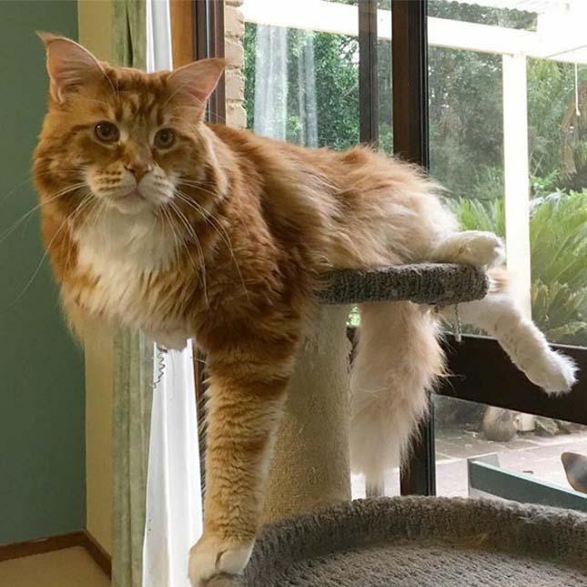 Leghosszabb macska