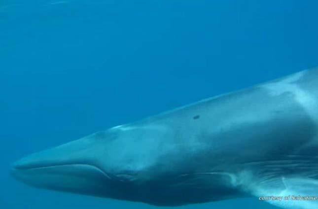 Omura bálna