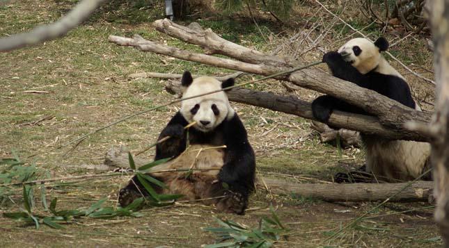 Pandák