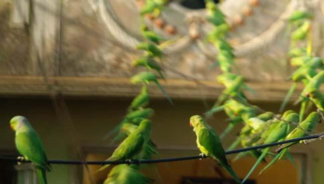 Indiai madárember