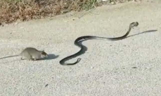 Kígyóval küzdött meg a patkány