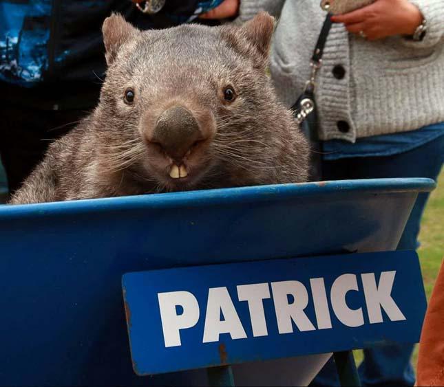 Patrick vombat